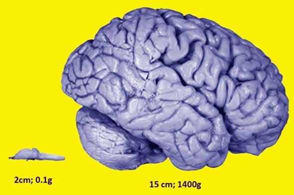brain sizes
