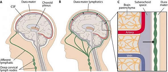 lymph and brain schematic