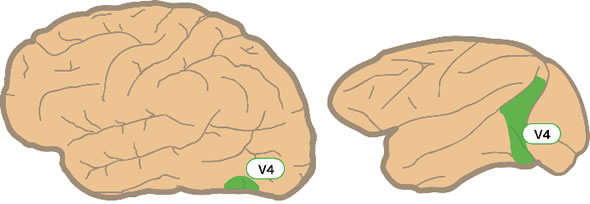 visual cortical area V4