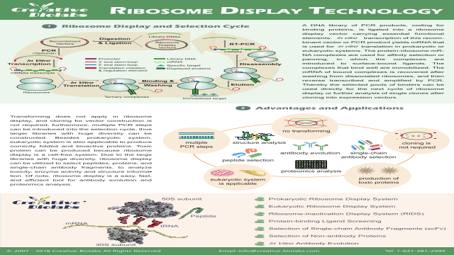Ribosome Display