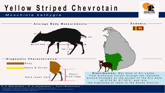 Yellow striped chevrotain (Moschiola kathygre) Average Body Measurements