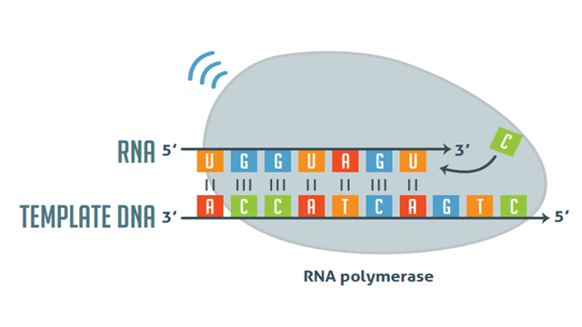 Image that shows a DNA strand moving through RNA polymerase II in the process of transcription.