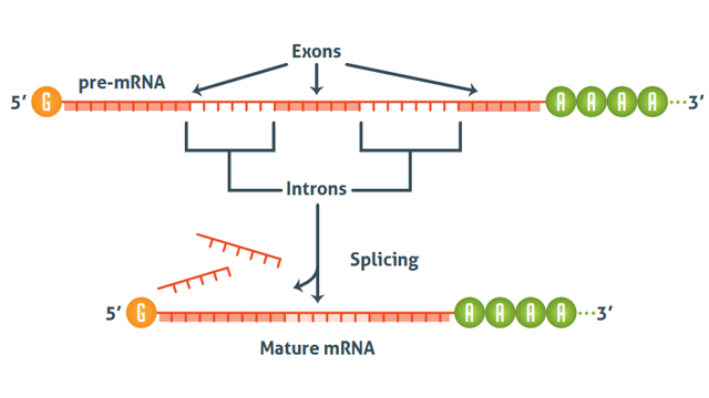 Schematic diagram showing how premRNA is processed to form mature mRNA through splicing.