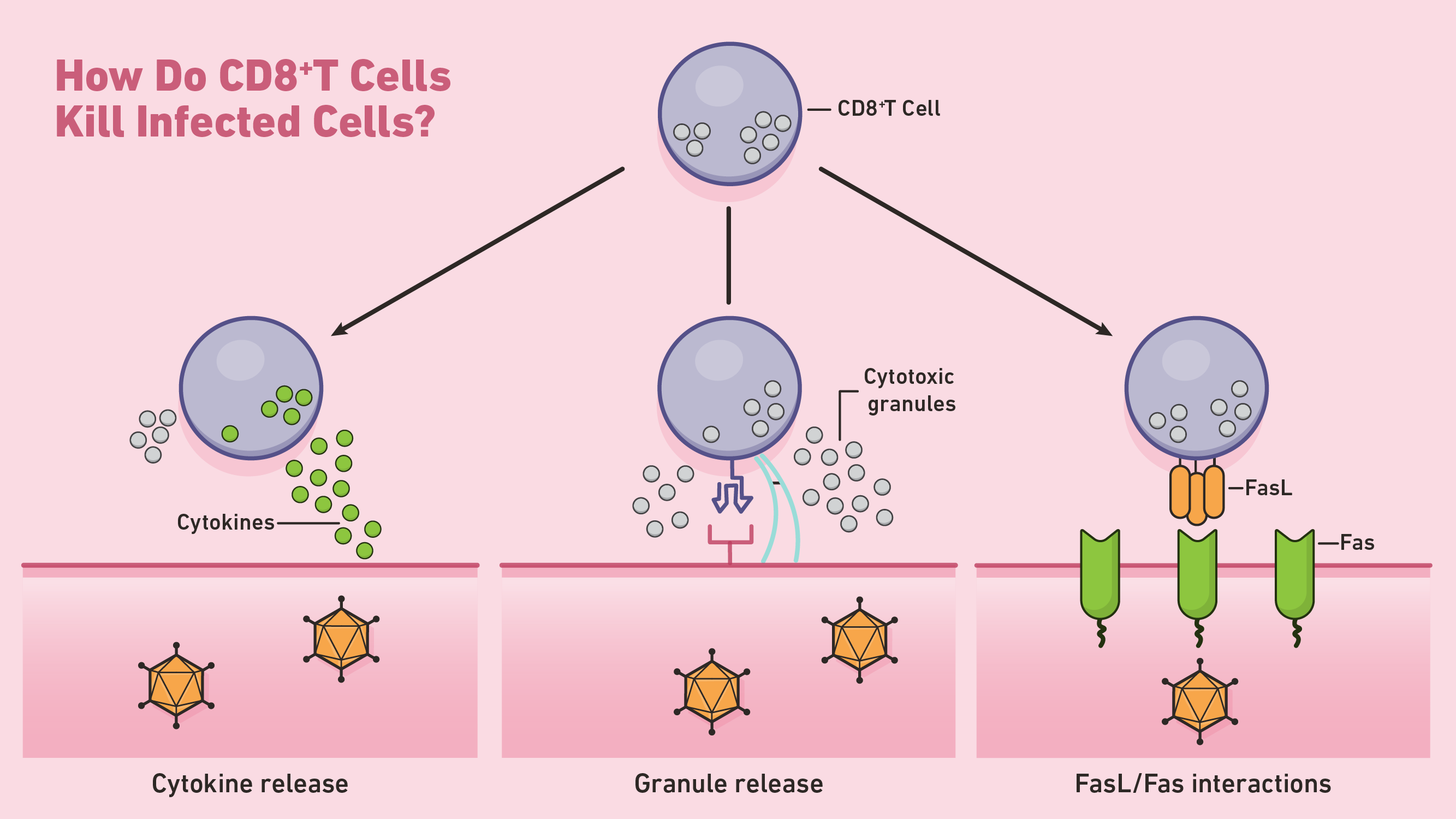 An image showing different types of cell killing mediated by CD8+ T Cells