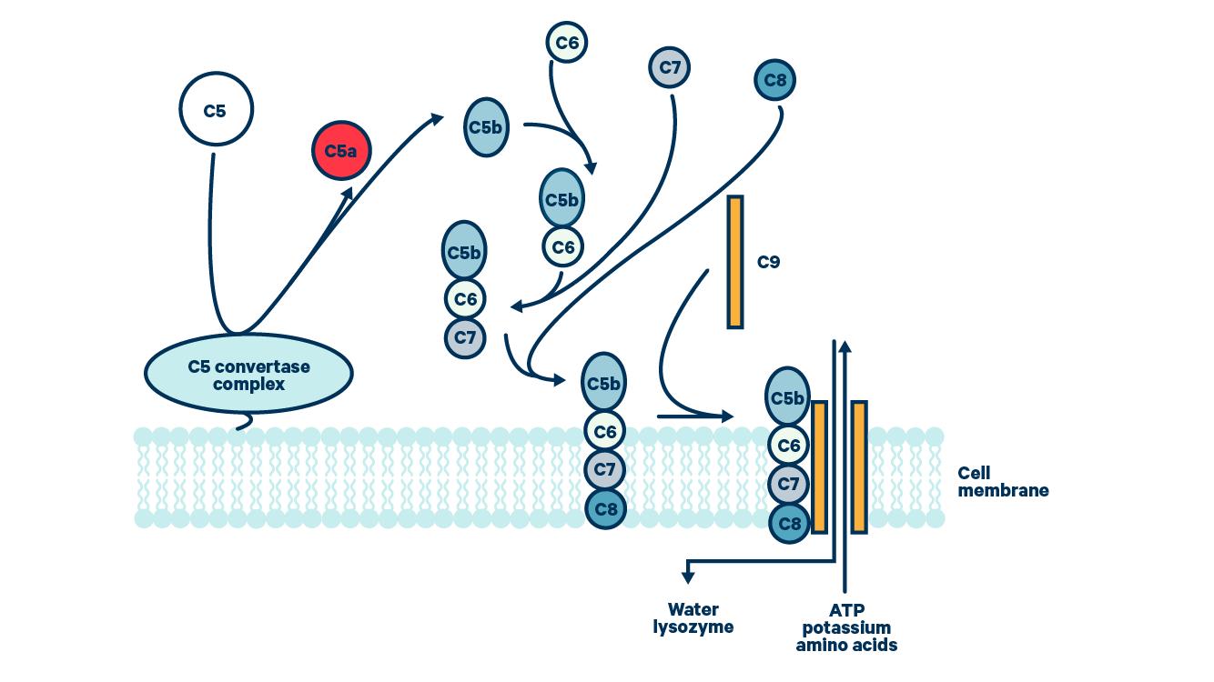 Membrane attack complex