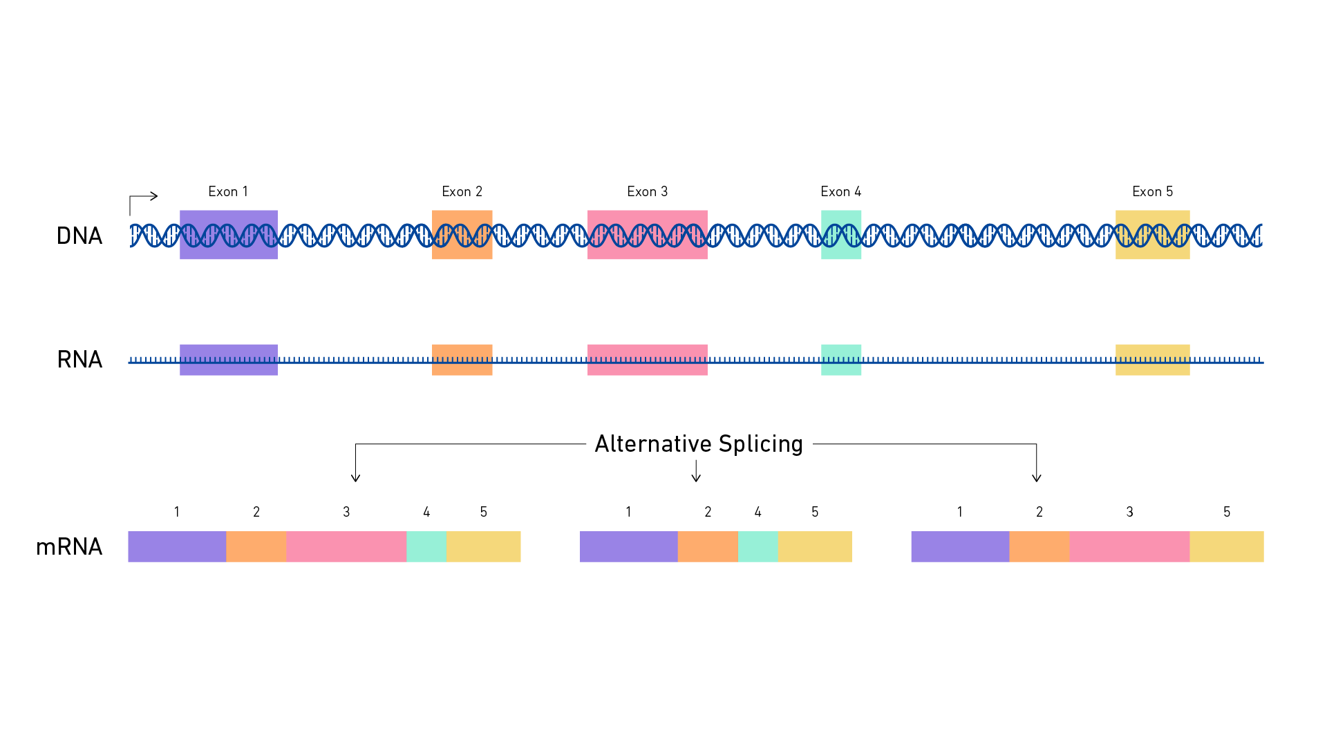 An overview of alternative splicing. Shows how DNA, transcribed into RNA, can then be arranged in different way to produce a diversity of mRNAs.