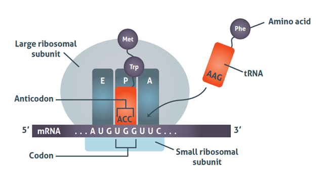 Summary diagram showing how a protein is transcribed via tRNA.