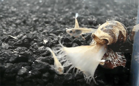 A cone snail engulfs a fish with its mouth and harpoons it with venom.