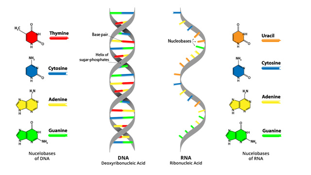 DNA vs. RNA – 5 Key Differences and Comparison ...