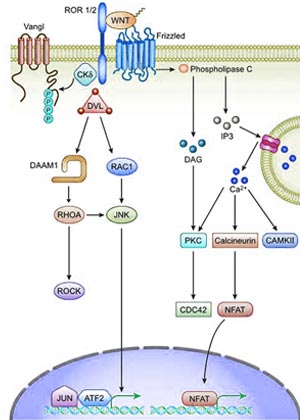 The Role Of Wnt Signaling In Cancer Technology Networks