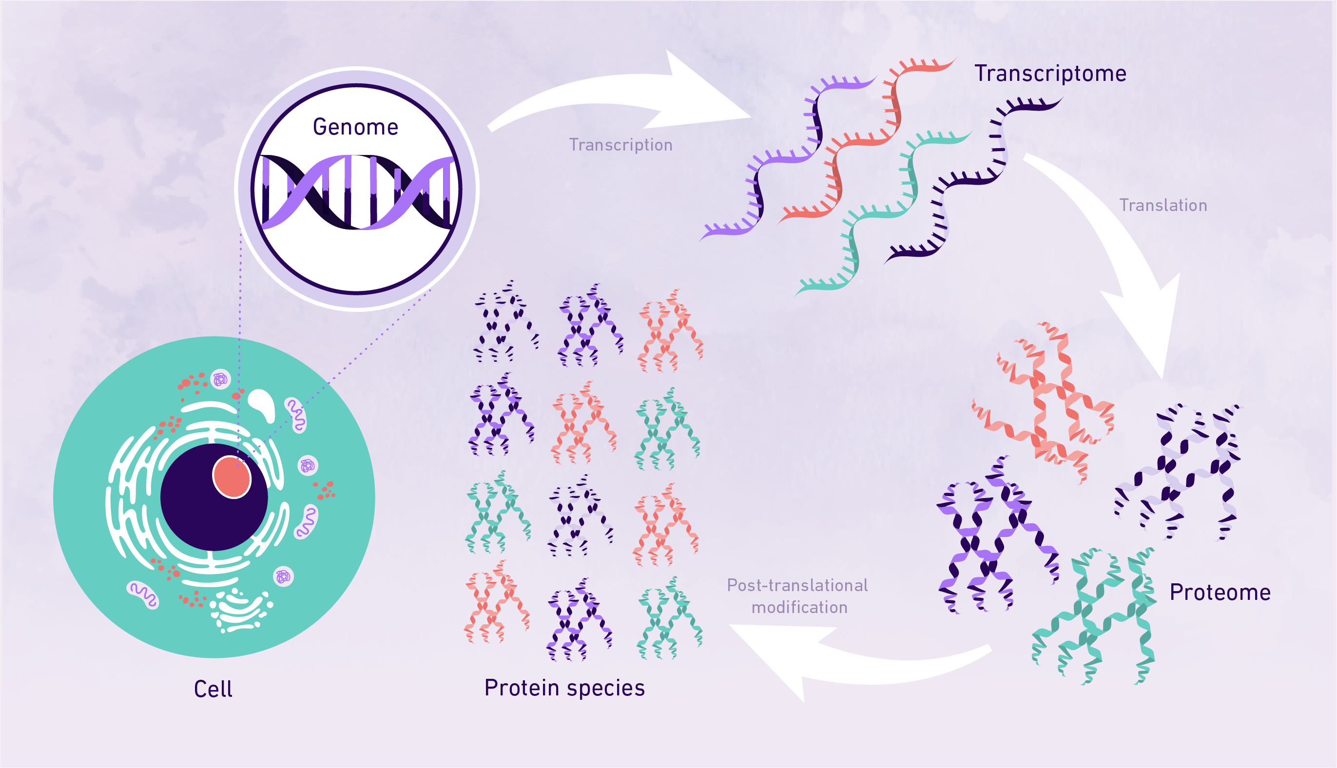 An image showing DNA being converted to proteins and the different stages involved, including post-translational modifications.