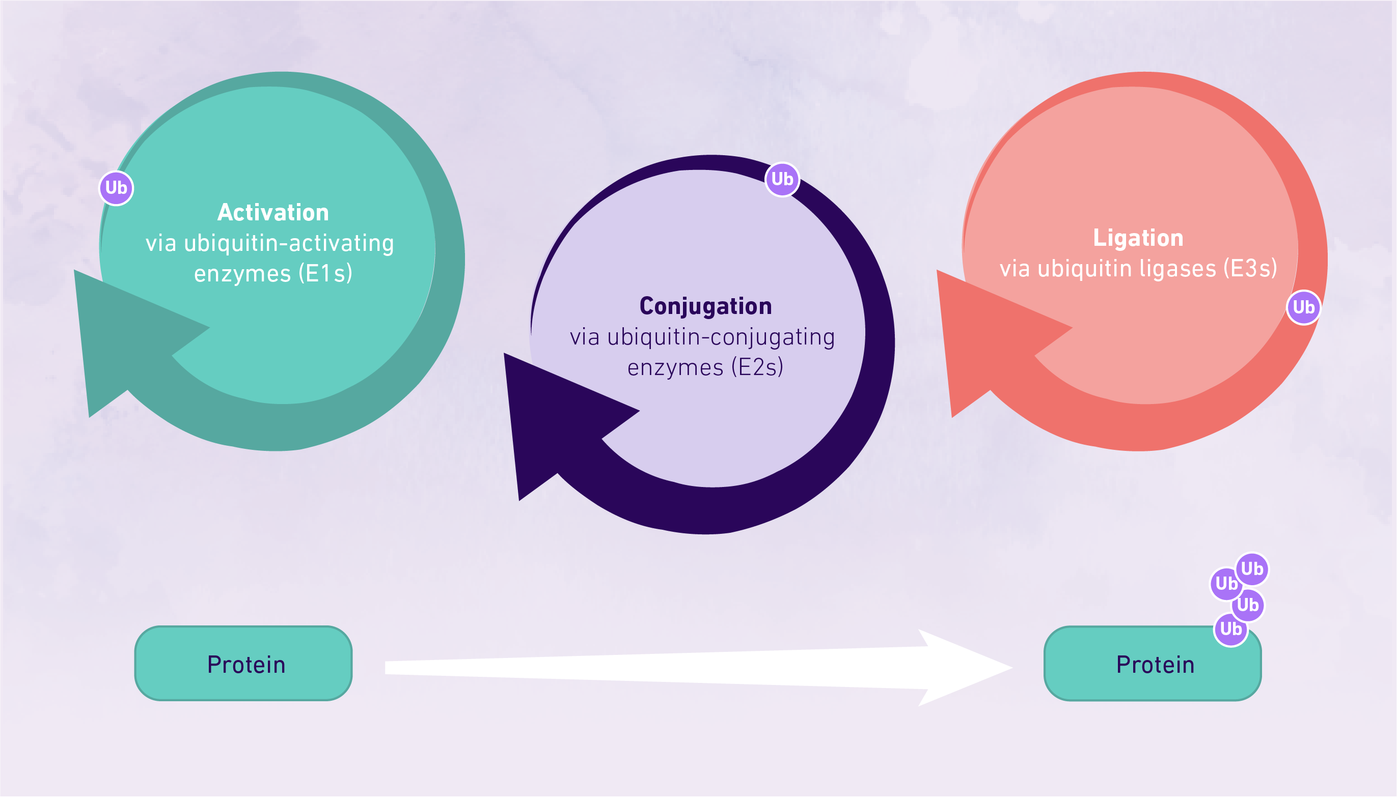 A picture showing the key steps involved in protein ubiquitination.