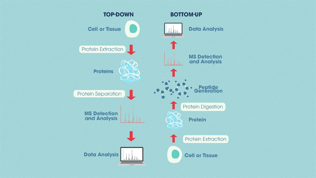 A picture showing the differences between top-down and bottom-up proteomics.