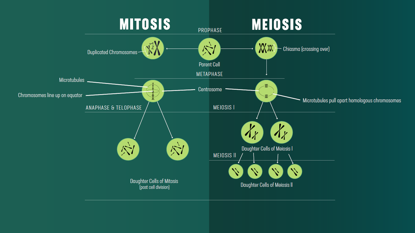 mitosis vs meiosis key differences, chart and venn diagram diagram of parthenogenesis click on image to view full size