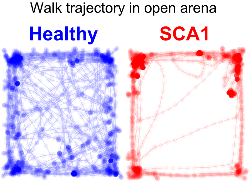 Arena tests of spinocerebellar ataxia 1 mice