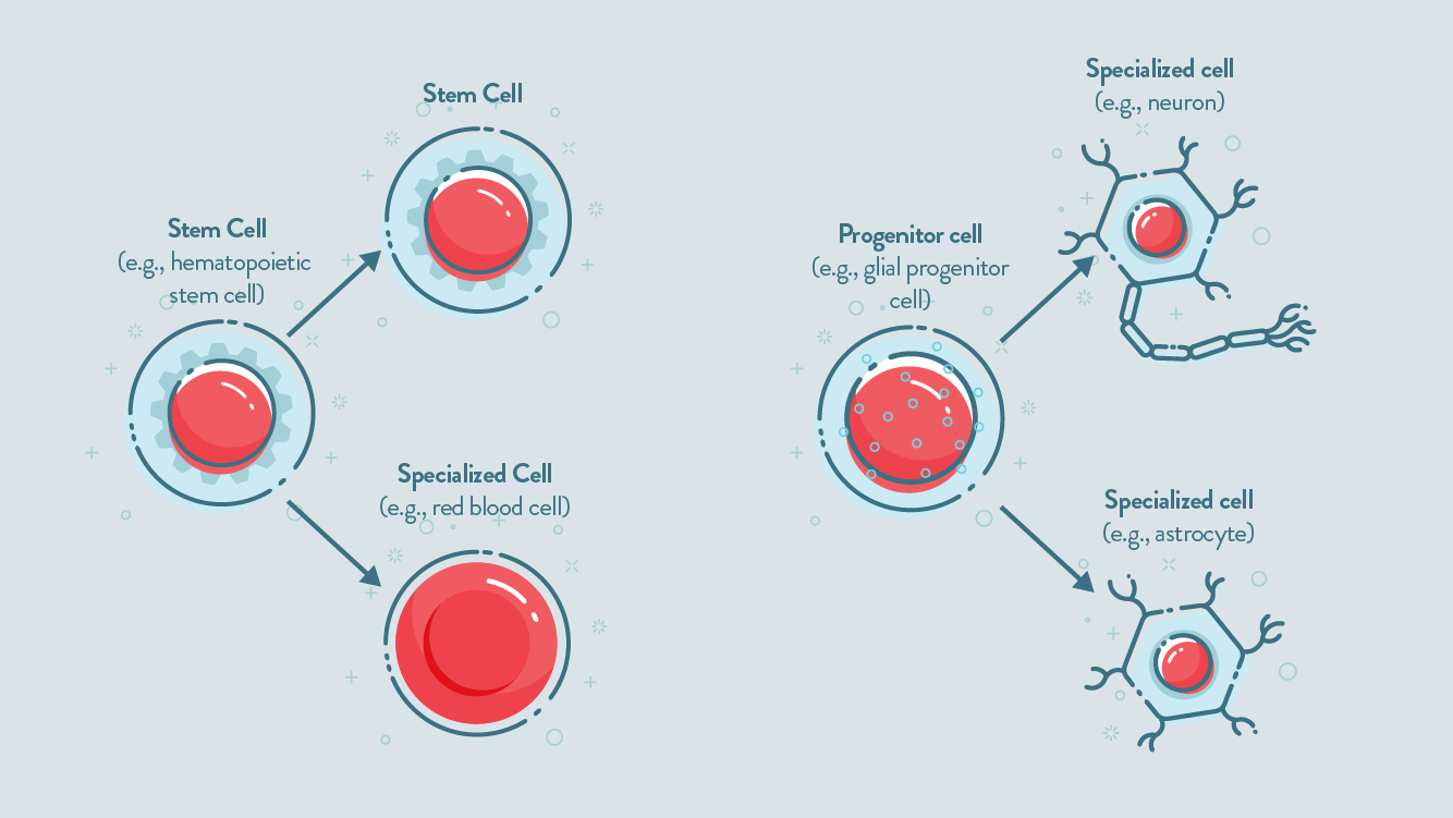 A comparison of stem cells and progenitor cells.