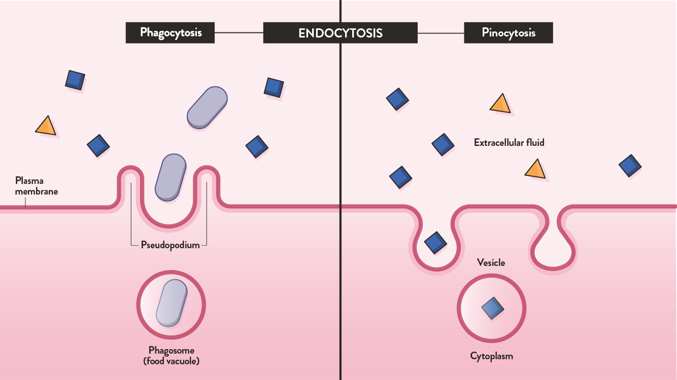 The two types of endocytosis are phagocytosis and pinocytosis