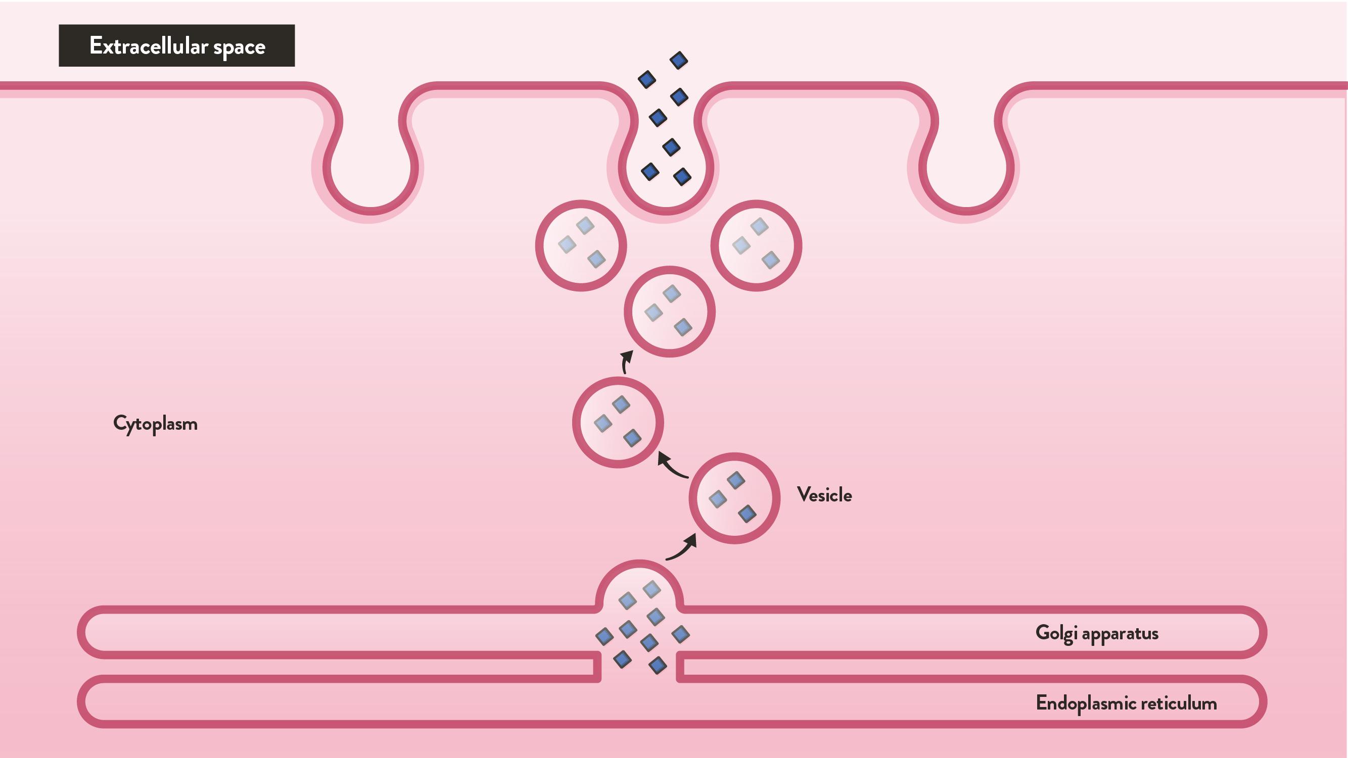 The steps of endocytosis