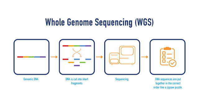 A workflow showing the steps of whole genome sequencing