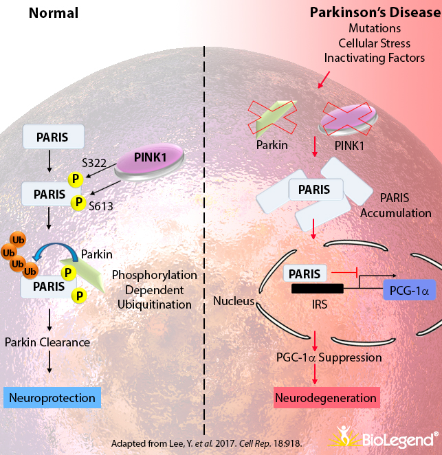 Pathways in Parkinson's Disease