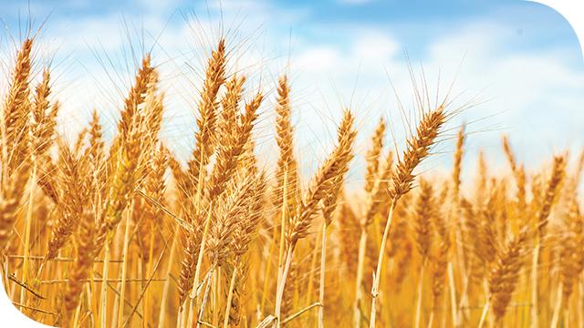 myBaits Expert Wheat Exome Panel