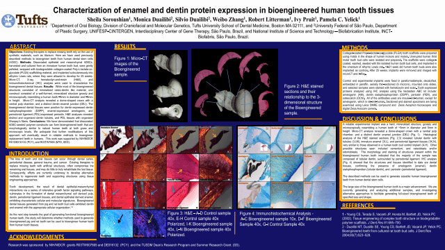 Characterization of enamel and dentin protein expression in bioengineered human tooth tissues