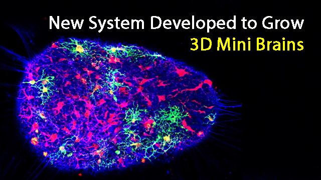 3D Mini Brains Accelerate Drug Screening and Brain Function Research
