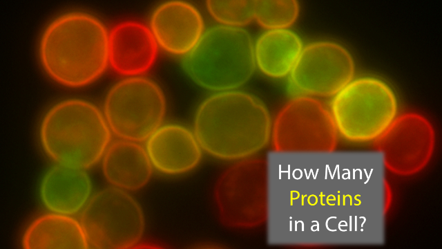 42: The Answer to Life, the Universe and... the Number of Proteins in a Cell?