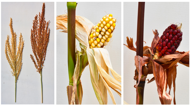58 Year Old Mutation Mystery May Be 'Corn'erstone of Plant Biology