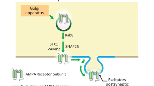 Selective vesicular sorting & trafficking of AMPA receptors to postsynaptic membranes