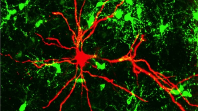 Neurons listen to glial cells