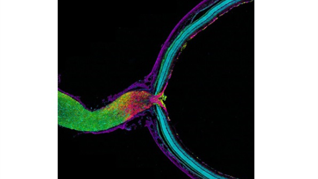 Getting rid of old mitochondria: Some neurons turn to neighbors to help take out the trash