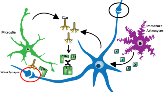 Complement-Mediated Synaptic Pruning During Development