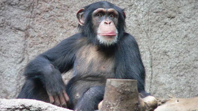 "Chimp intelligence ""runs In families,"" environment less important, study finds"