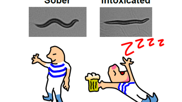 Mutation stops worms from getting drunk