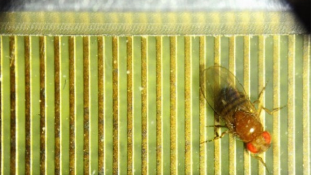 Fruit flies show a mark of intelligence in 'thinking' before they act