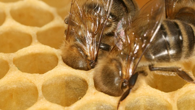 Honeybees' changing roles throughout their lives linked to brain chemistry