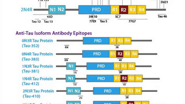 Tau Proteins, Isoforms, Antibodies