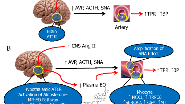 New pathway linking the brain to high blood pressure identified