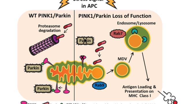 Dysregulation of PINK1 & Parkin links Parkinson's disease to autoimmune disease