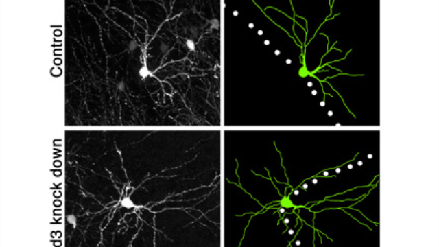 Researchers Identify Molecule that Orients Neurons for High-Def Sensing