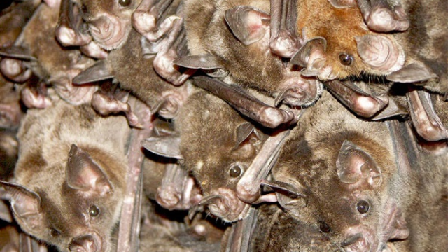 New study investigates spatial orientation in bats