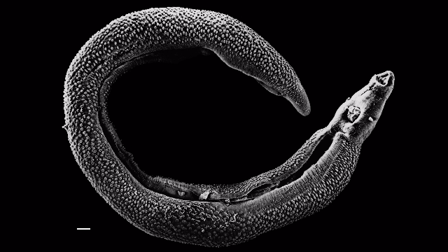 A New Model for Understanding Mammalian Parasites