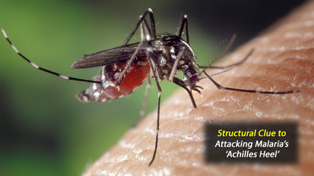 A Structural Clue to Attacking Malaria's 'Achilles Heel'