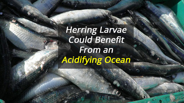 Acidifying Ocean Could be Good News for Herring Larvae