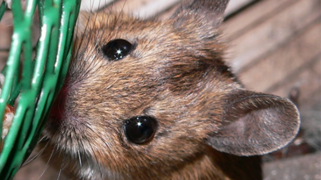 """""""Brainy"""" mice raise hope of better treatments for cognitive disorders"""