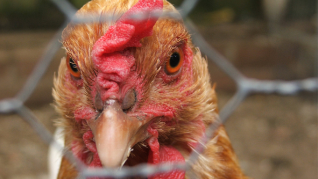 Why we're smarter than chickens