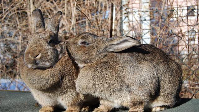 Why it's hard to make a bunny mad: Examining prion disease resistance in rabbits