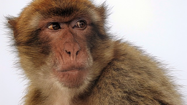 Aged Rhesus Macacque Monkey Brains Show Similar Alzheimer's Pathology to Humans
