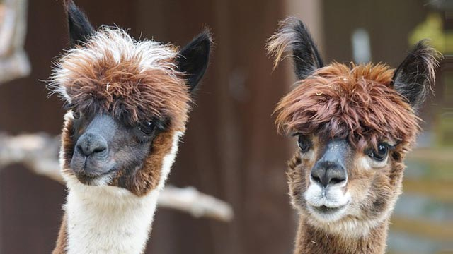 Alpaca Punch Against Cancer